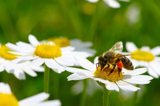 Photo: Biene auf Blume